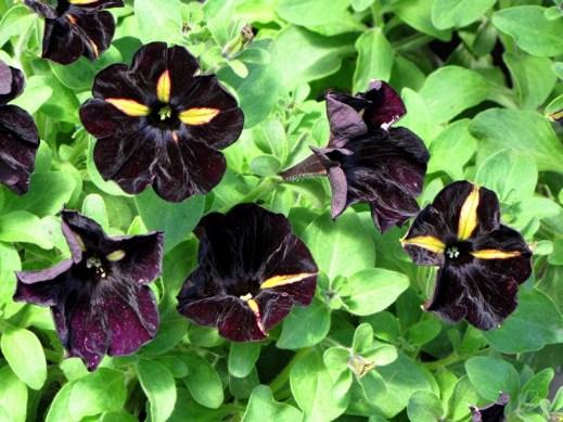 bumblebee petunia - Copy