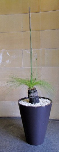 xanthorrhoea - Copy