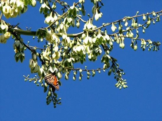 agaveamericanavariegata9 - Copy
