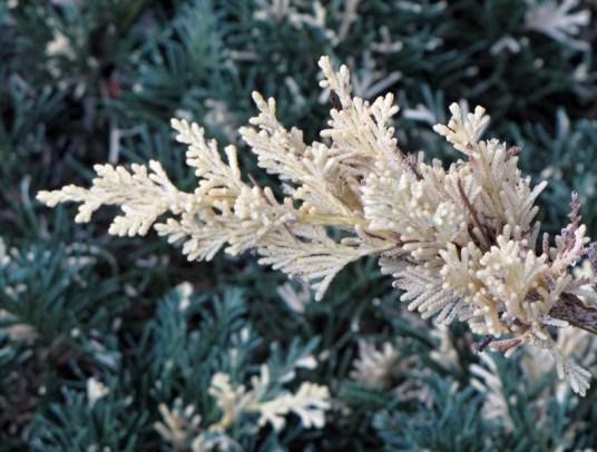 cedar-juniperchinensisexpansavariegata