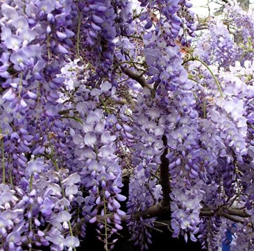 mywisteria - Copy