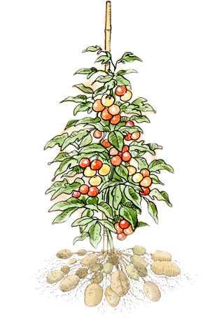 Solanum tuberosum, Potatos growing on plant.
