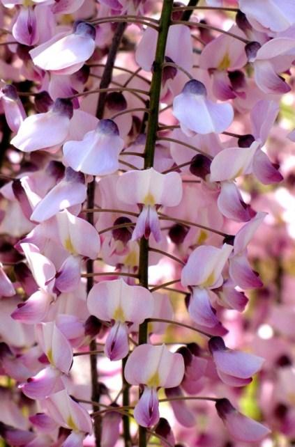 wisteriafloribundarosea4 - Copy