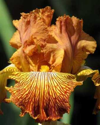 iris-tigershark