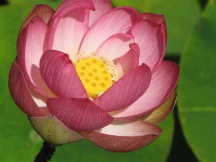 waihi-lotus