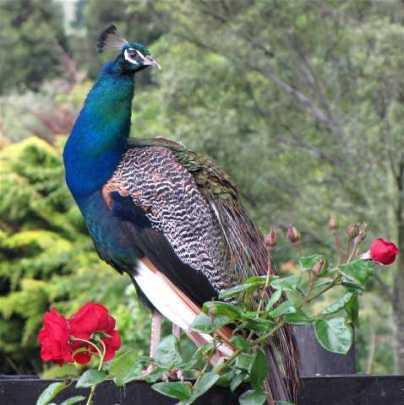 waihi-peacock