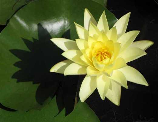 waihi-waterlily
