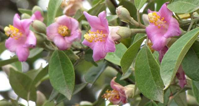Norfolk Island Hibiscus Tree Sandras Garden