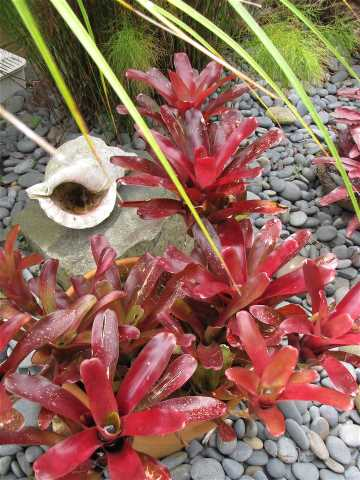 wilson-bromeliad