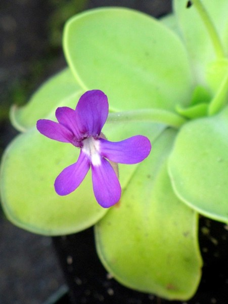 pinguicula - Copy