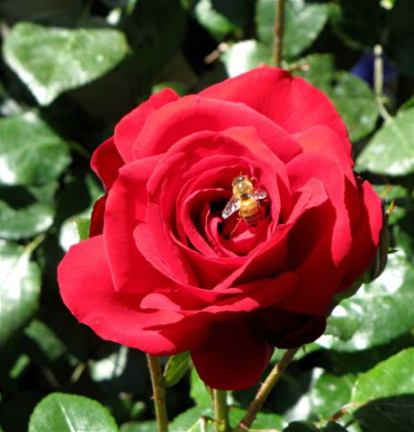 rose-dublinbay