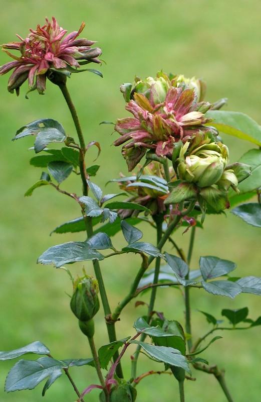 rosachinensisviridifolia - Copy