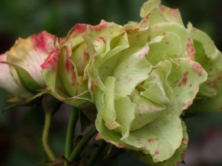 rose-somerfield5 - Copy