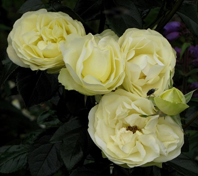 thwaites-lemon'nlime2 - Copy