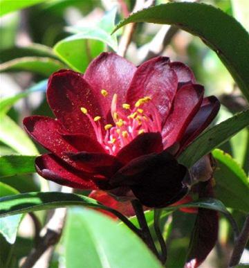 camellia-nightrider