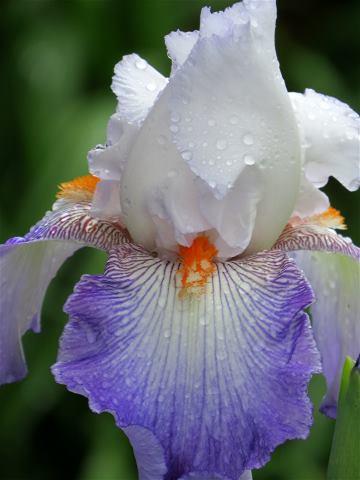 spring-iris