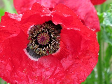 spring-poppy2