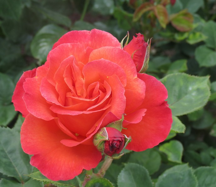 rose-Christophe