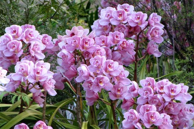 orchid-cymquarry