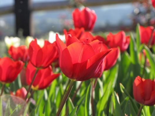 tulips - Copy