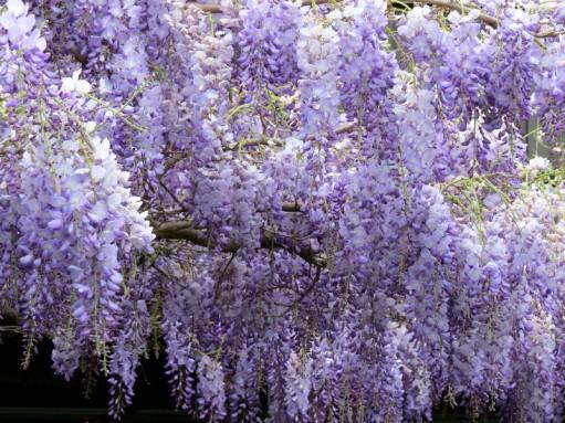 wisteria1 - Copy