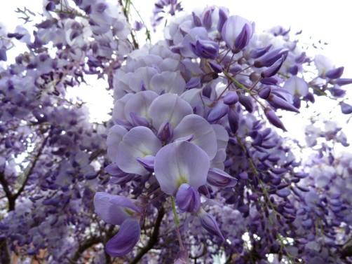 wisteria2 - Copy