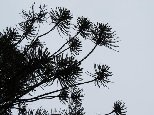 Araucaria bidwillii - Copy