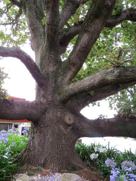 elms-oak