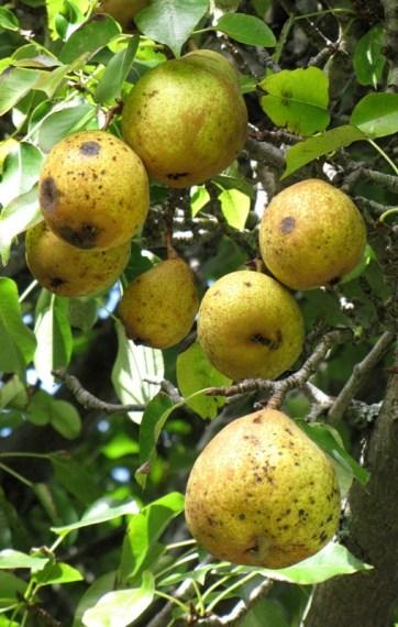 elms-pear
