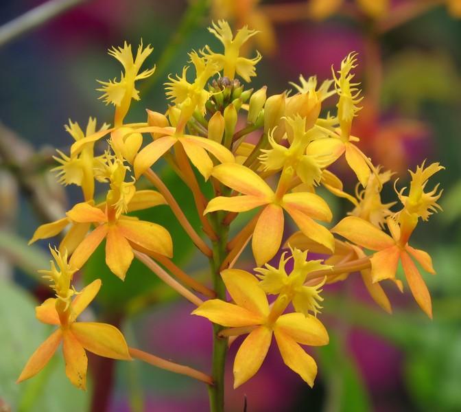 orchid-cruciform