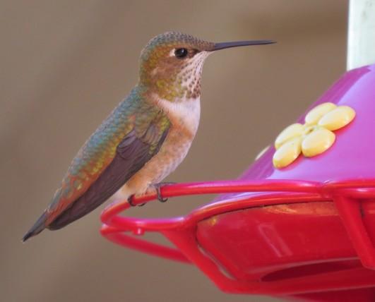 hummingoregon2