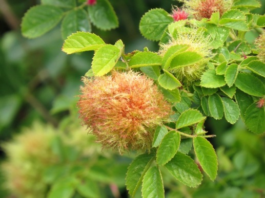 mossy gall