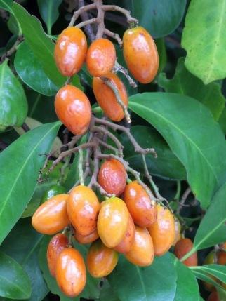 karaka in rongoa medicine   Sandra's Garden