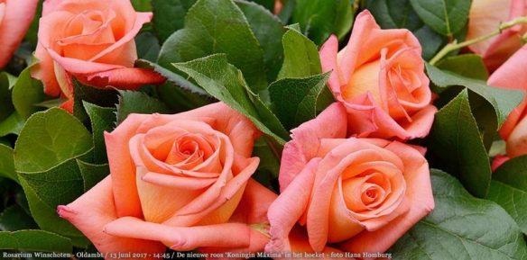maxima rose