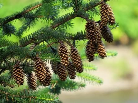 sitka spruce cones2 - Copy