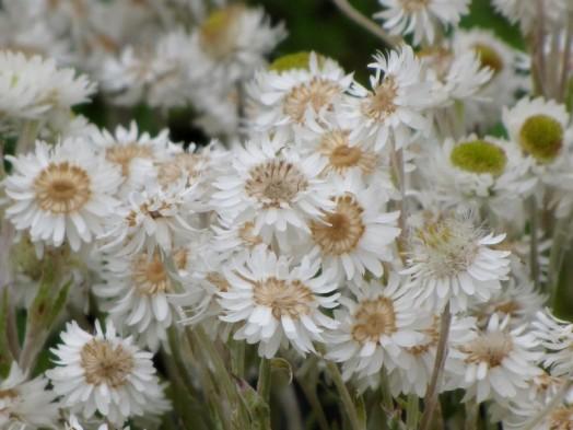 Helichrysumbellidioides - Copy