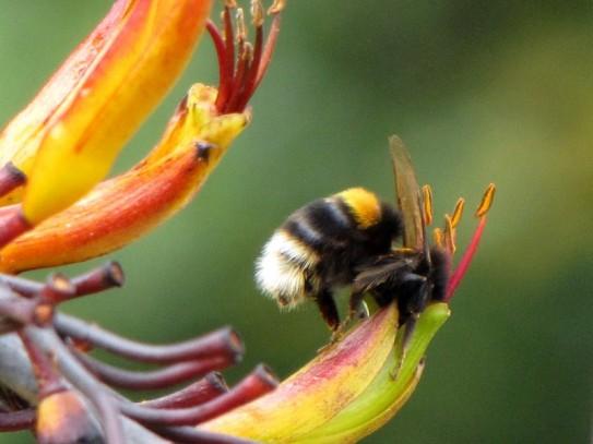 hotere garden flax4 - Copy
