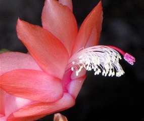 xmascactus
