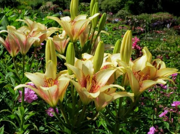 butchart-lilies