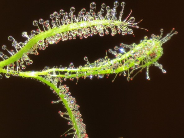 drosera cistiflora - Copy