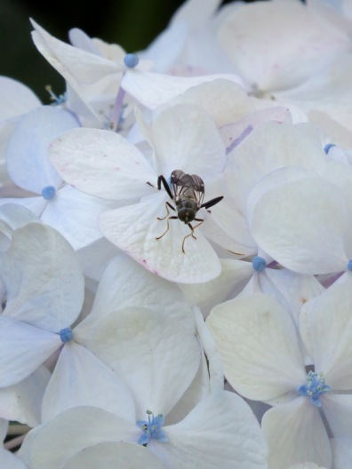 garden soldier fly2 - Copy