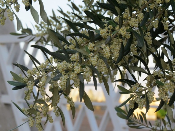 olive flowers2 - Copy