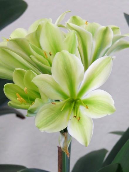 clivia toon's green-j - Copy