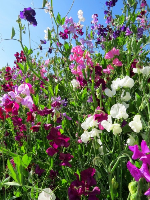blaymires-sweetpea - Copy