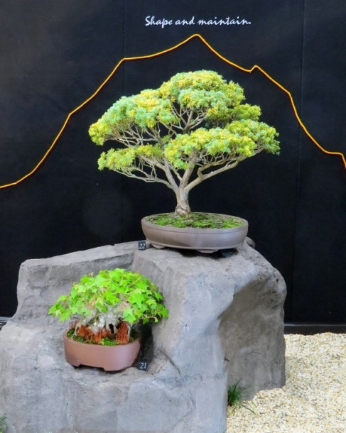 bonsai-liquidamber-golden-totara-copy
